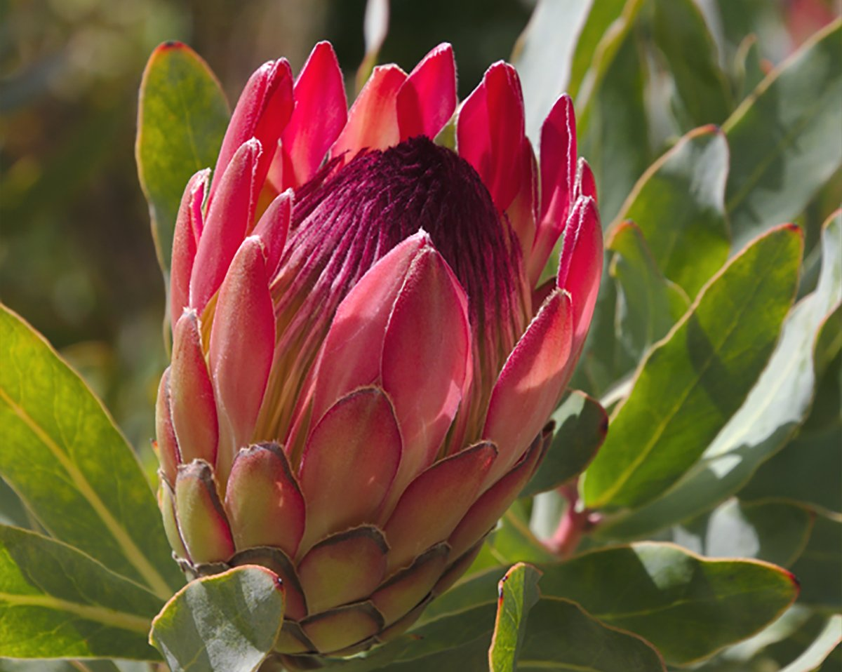 How to Grow Protea