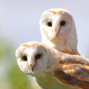 pair of barn owl birds close up looking