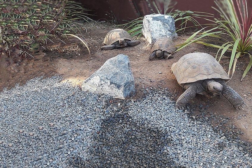 Tortoises6